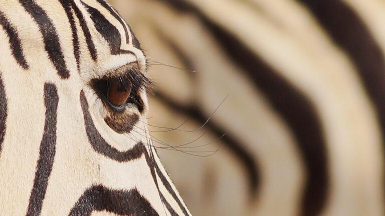 Zebra Sambia Expedition traveljunkies