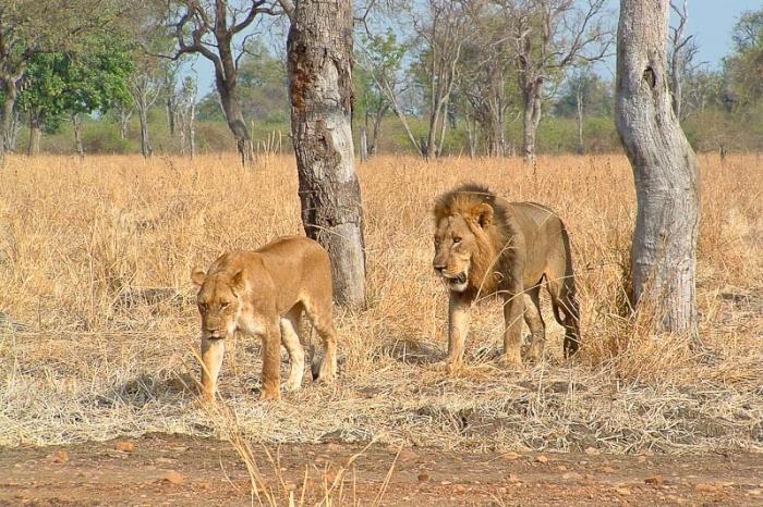 Löwen im Luangwa Nationalpark