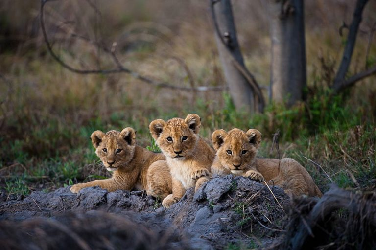 Löwenbabys im Moremi Game Reserve