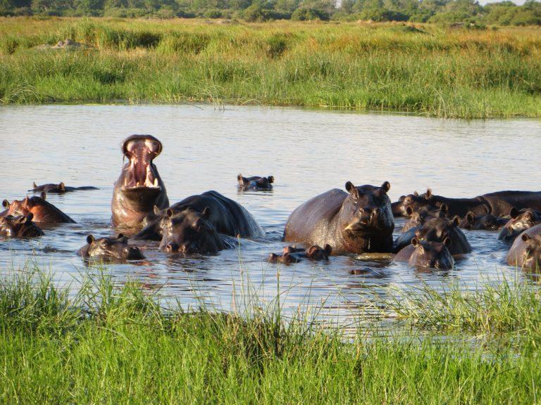 Nilpferde im Moremi Game Reserve