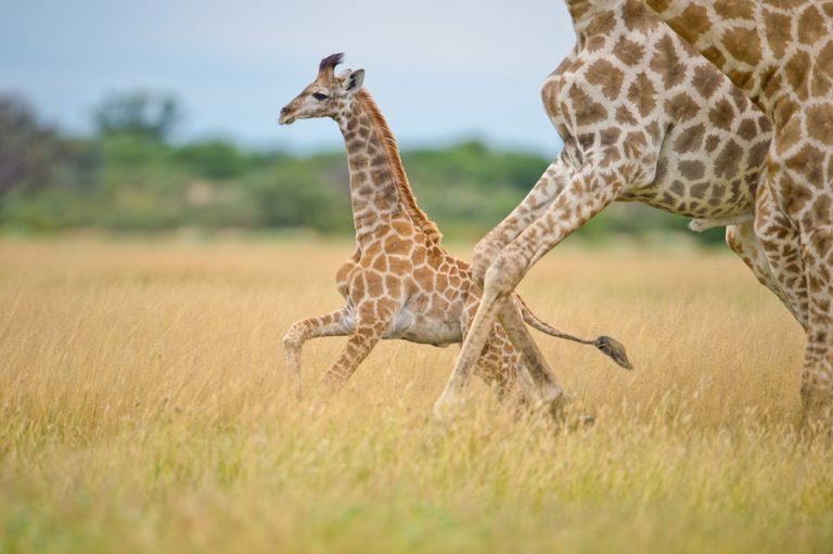 Giraffen im Kgalagadi Transfrontier Nationalpark