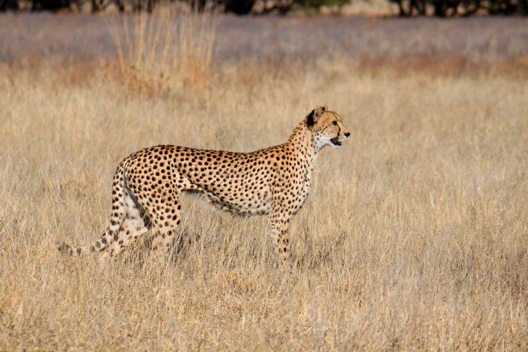 Gepard im Kgalagadi Transfrontier Nationalpark