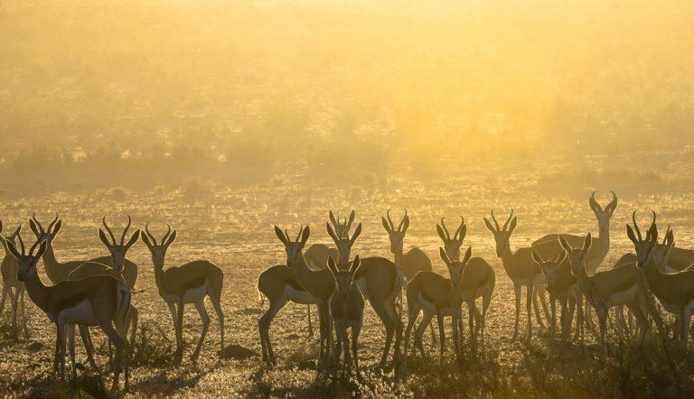 Springböcke im Kgalagadi Transfrontier Nationalpark