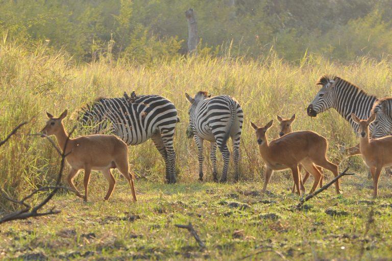 Zebras und Antilopen im Luangwa Nationalpark
