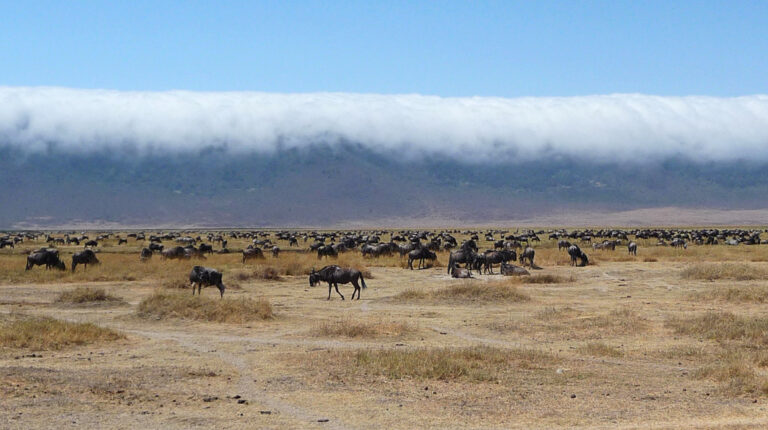 Im Krater grasende Antilopenherde