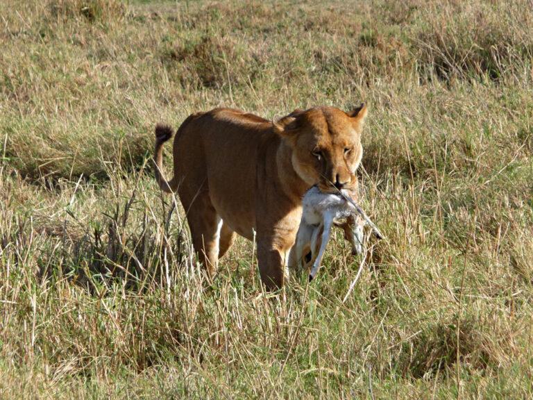 Löwen bei der Jagd beobachten