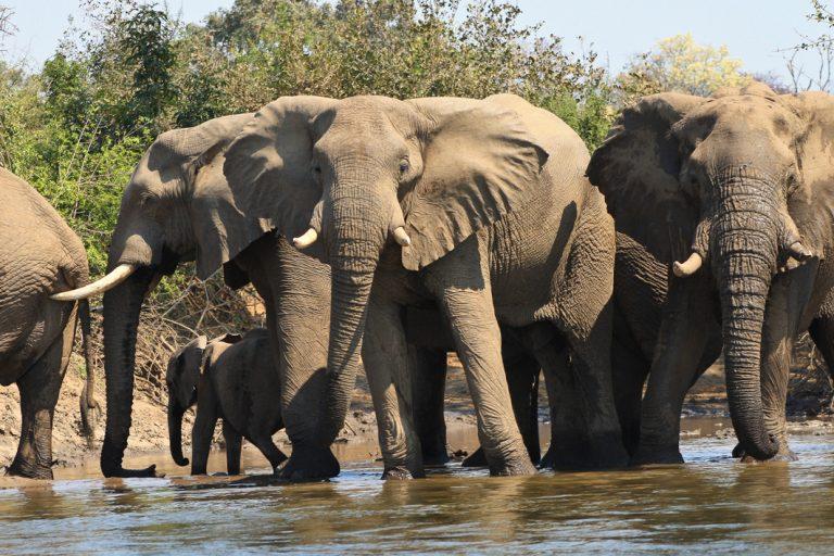 Elefantenherde im Luangwa Nationalpark