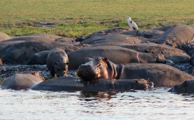 Flusspferde im Chobe River