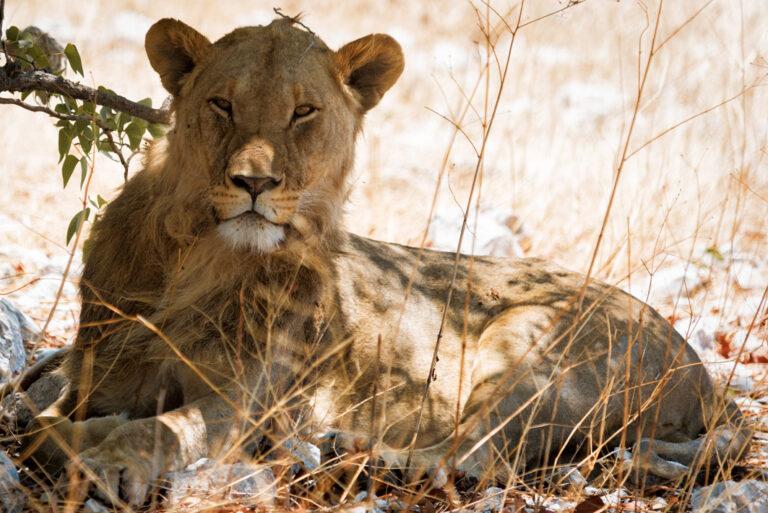 Majestätische Löwin