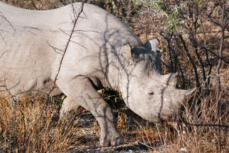 Respekteinflösendes Nashorn