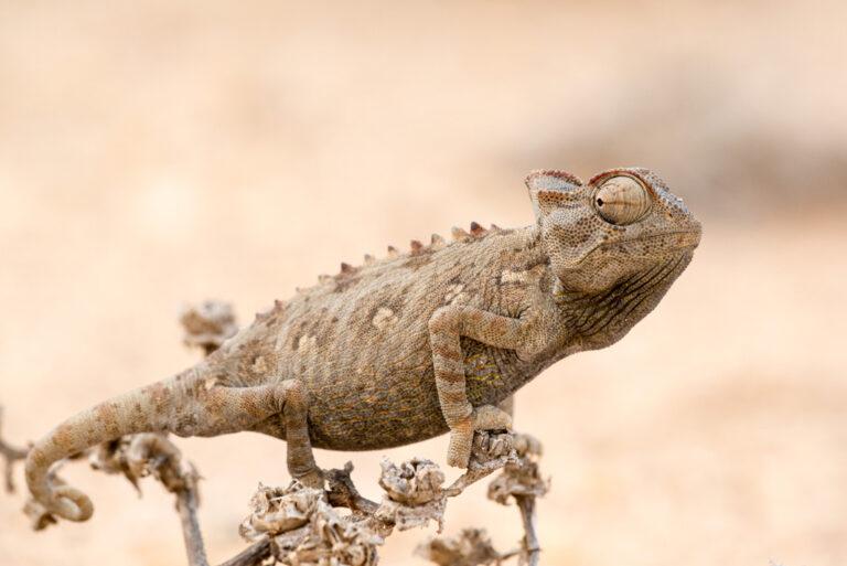 Ein echter Hingucker, das Wüstenchamäleon