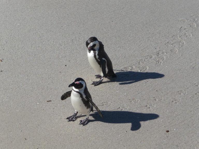 Die knuffigen Pinguine am Boulders Beach