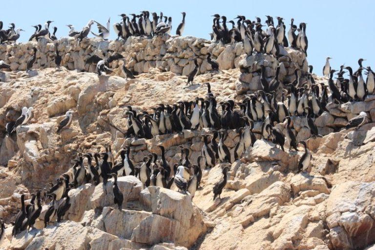 Seevögel auf den Ballestas Inseln