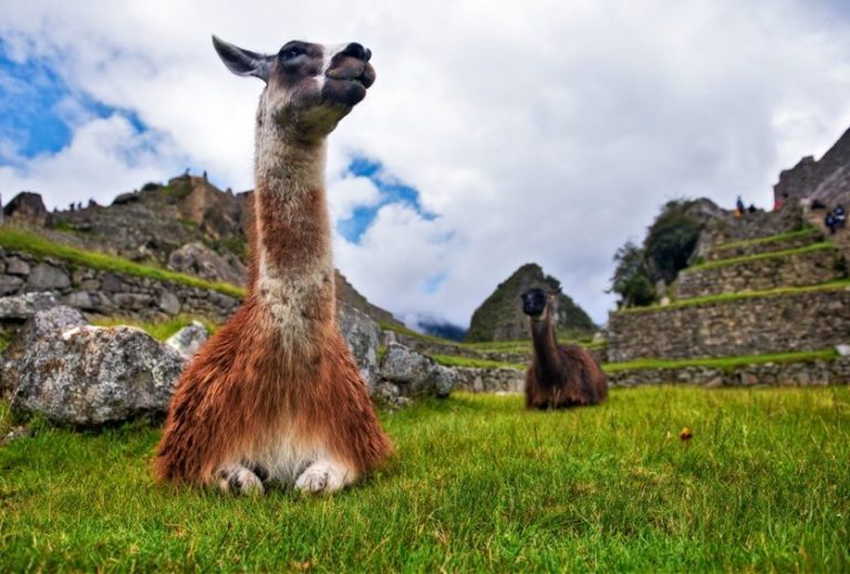 Alpakas in der peruanischen Ruinenstadt