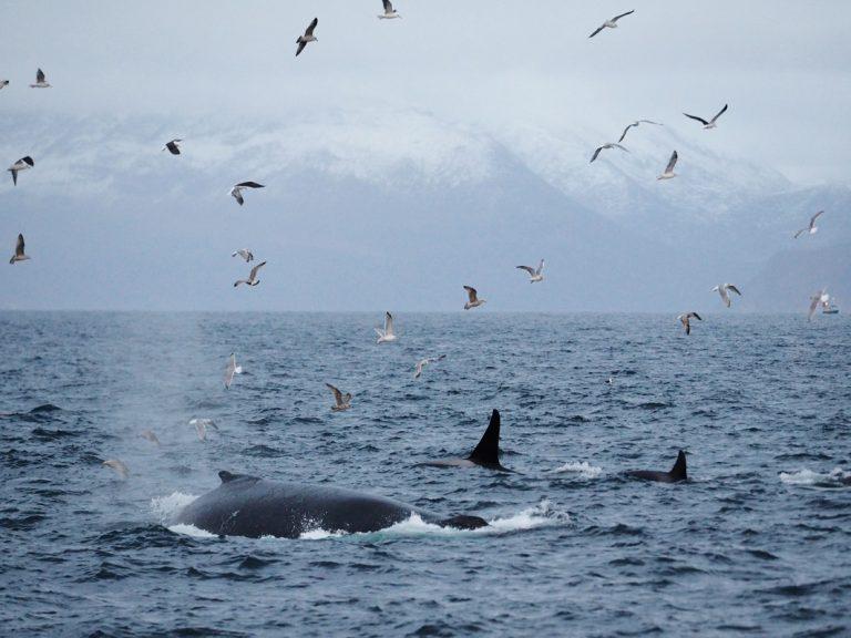 Wale fühlen sich in den kalten Gewässern Norwegens ebenfalls sehr wohl
