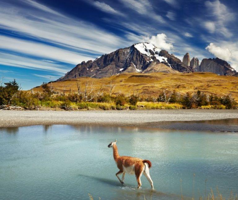 Alpakas prägen das Landschaftsbild Patagoniens
