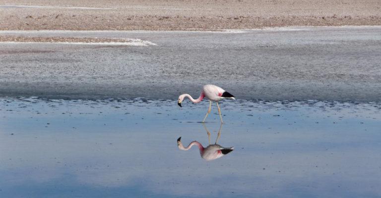 Ein Flamingo auf Nahrungssuche