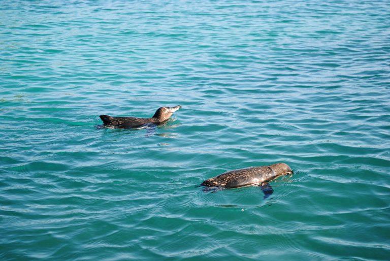 Sogar Pinguine gibt es auf den Galapagos Inseln