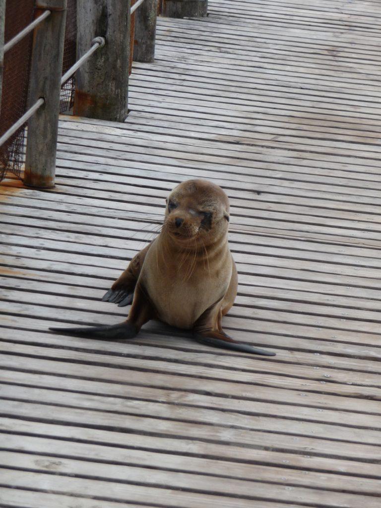 Eine Babyrobbe spaziert über den Pier