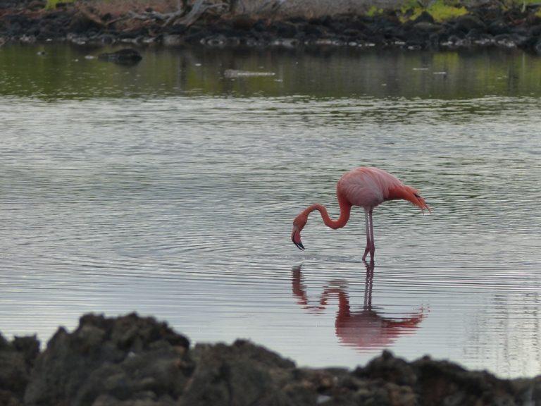 Flamingo auf Nahrungssuche
