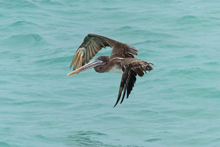 Pelikan über dem türkiesblauen Ozean