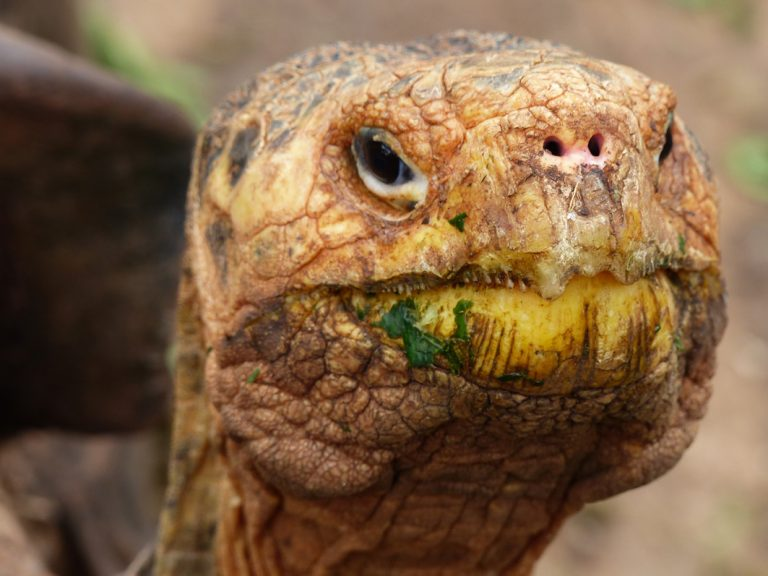Guten Appetit! Glapagos Riesenschildkröte