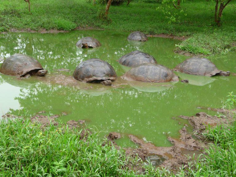 Galapagos Riesenschildkröten auf Santa Cruz