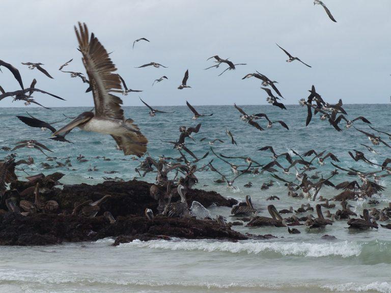 Vogelschwarm mit Pelikanen und Blaufußtölpeln