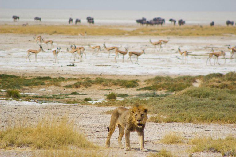 Löwe und Antilopen im Etosha Nationalpark