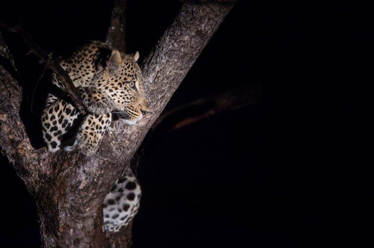 Leopard auf der Nachtsafari im Luangwa Nationalpark