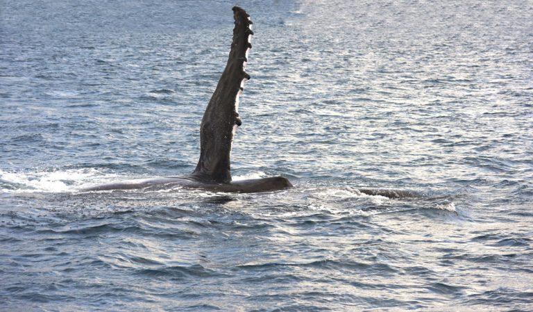 Buckelwale gesichtet!