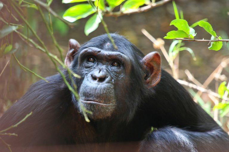 Schimpansen im Luangwa Nationalpark