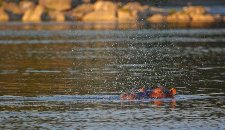 Nilpferde im Kafue Fluss