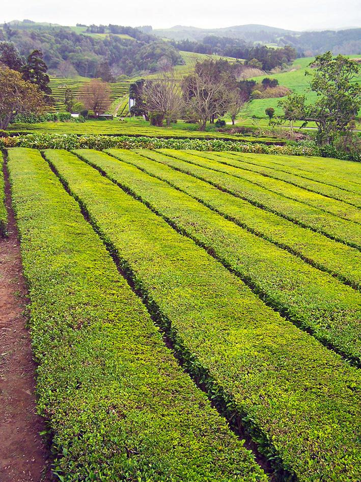 Tiefgrüne Teeplantagen