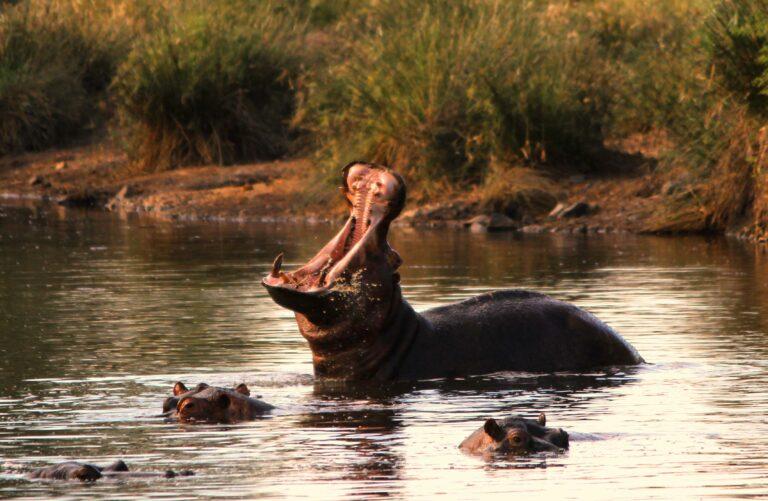 Flusspferde in Südafrika