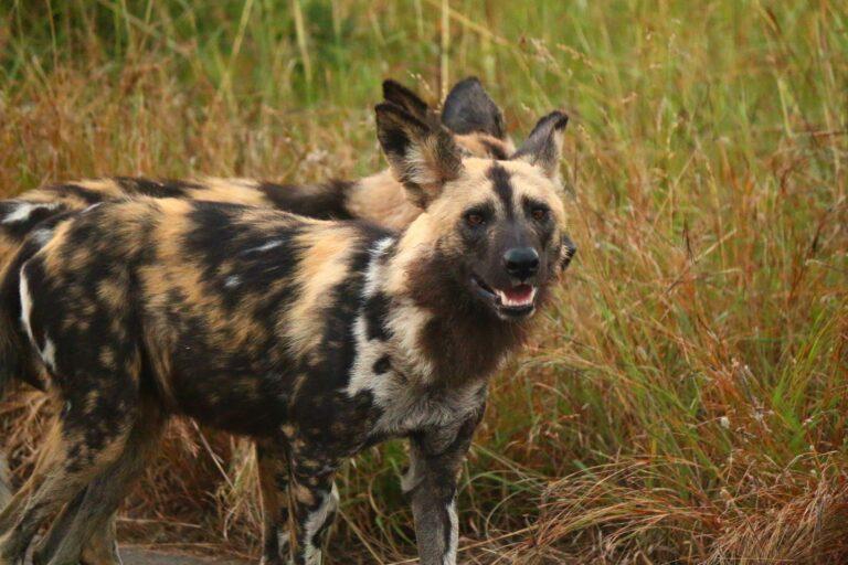 Afrikanischer Wildhund im Krüger Nationalpark