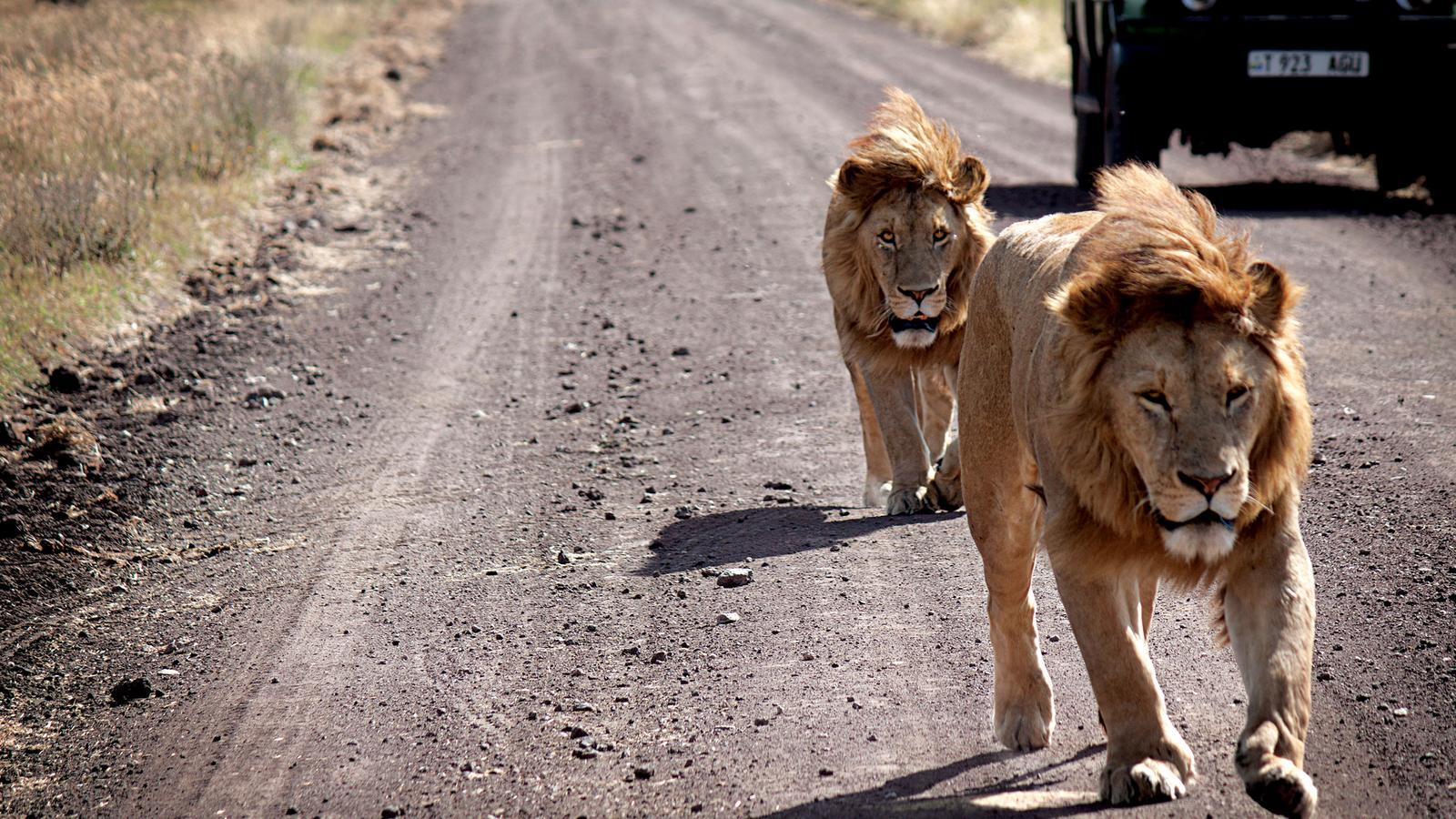 Reisen für junge Leute Afrika traveljunkies Kenia Tansania Sansibar Serengeti Nairobi Ngorongoro Gruppebreise Abenteuerreise Erlebnisreise Safari Camping Adventure Löwe