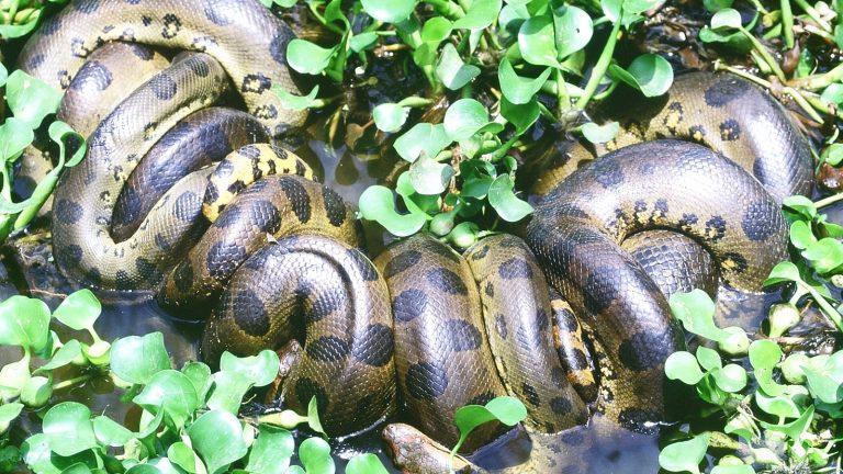 Anaconda in den Los Llanos in Venezuela Trekking travelkunkies