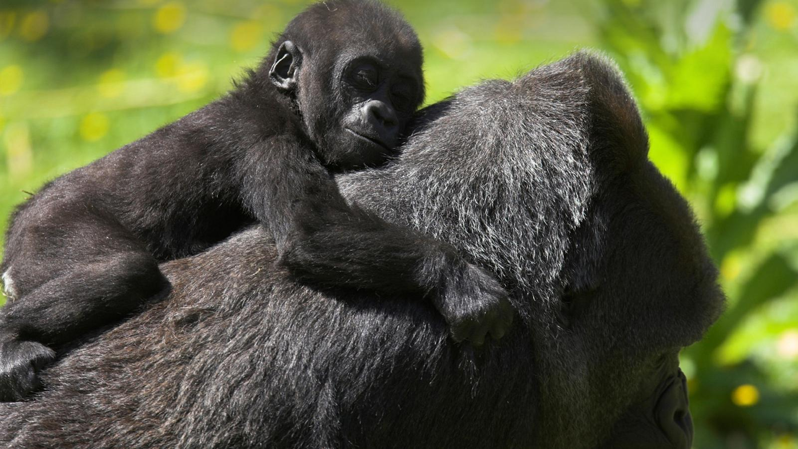 Gorillas in Uganda traveljunkies Reisen für junge Leute