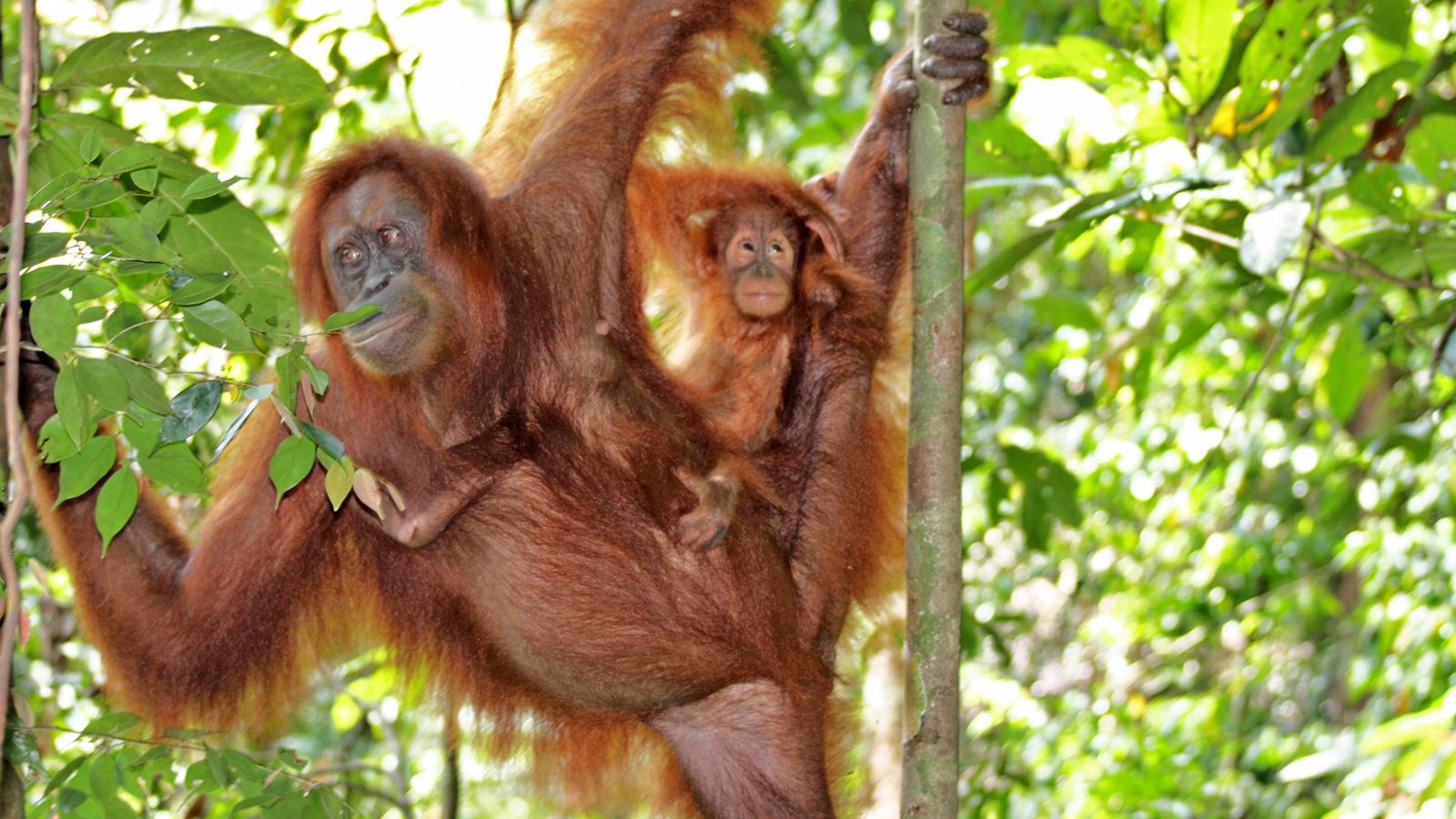 Gunung Leuser Nationalpark Orang Utan Sumatra Erlebnisreise traveljunkies
