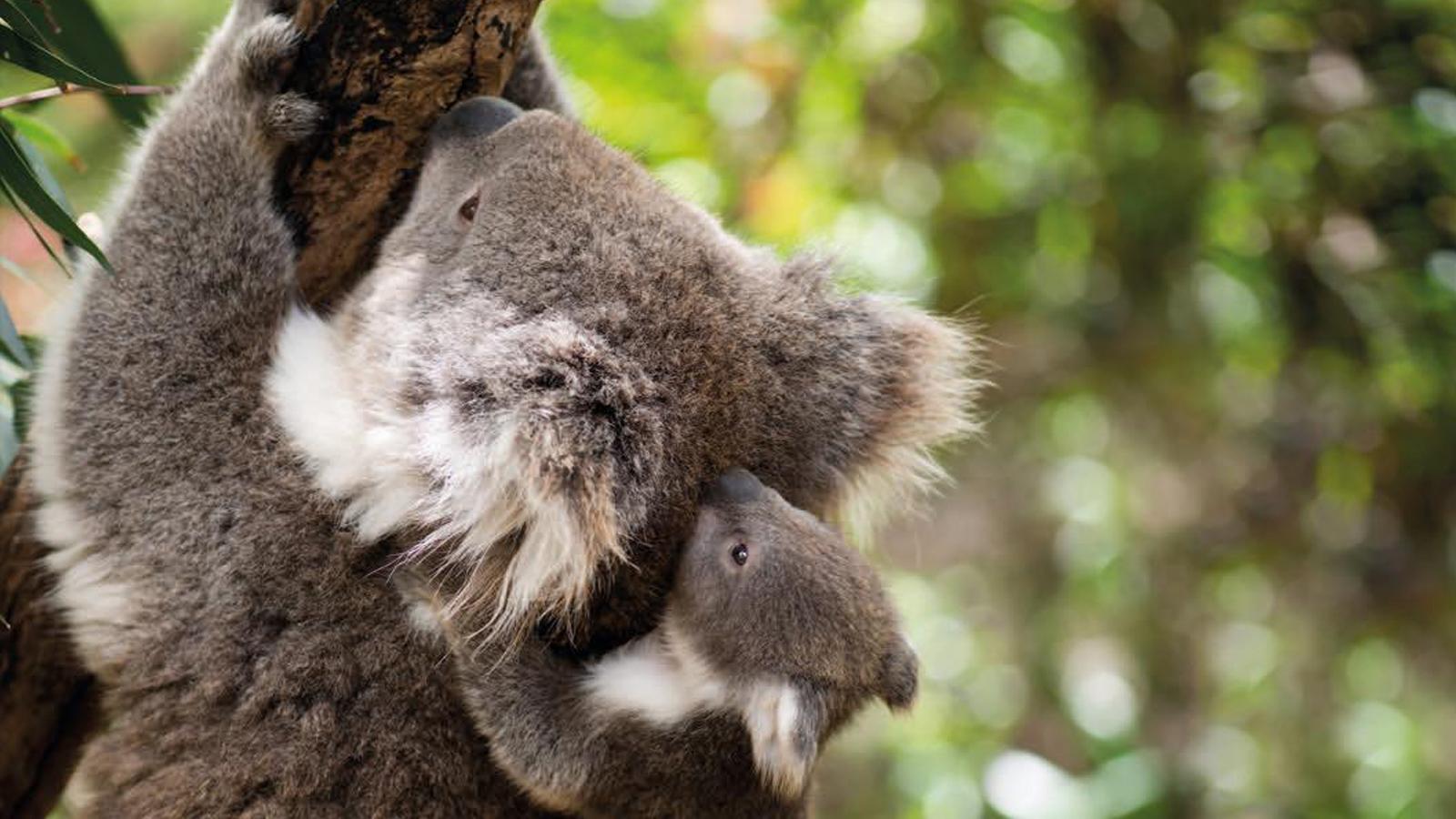 Koala im Otway Nationalpark Australien Reisen für junge Leute traveljunkies