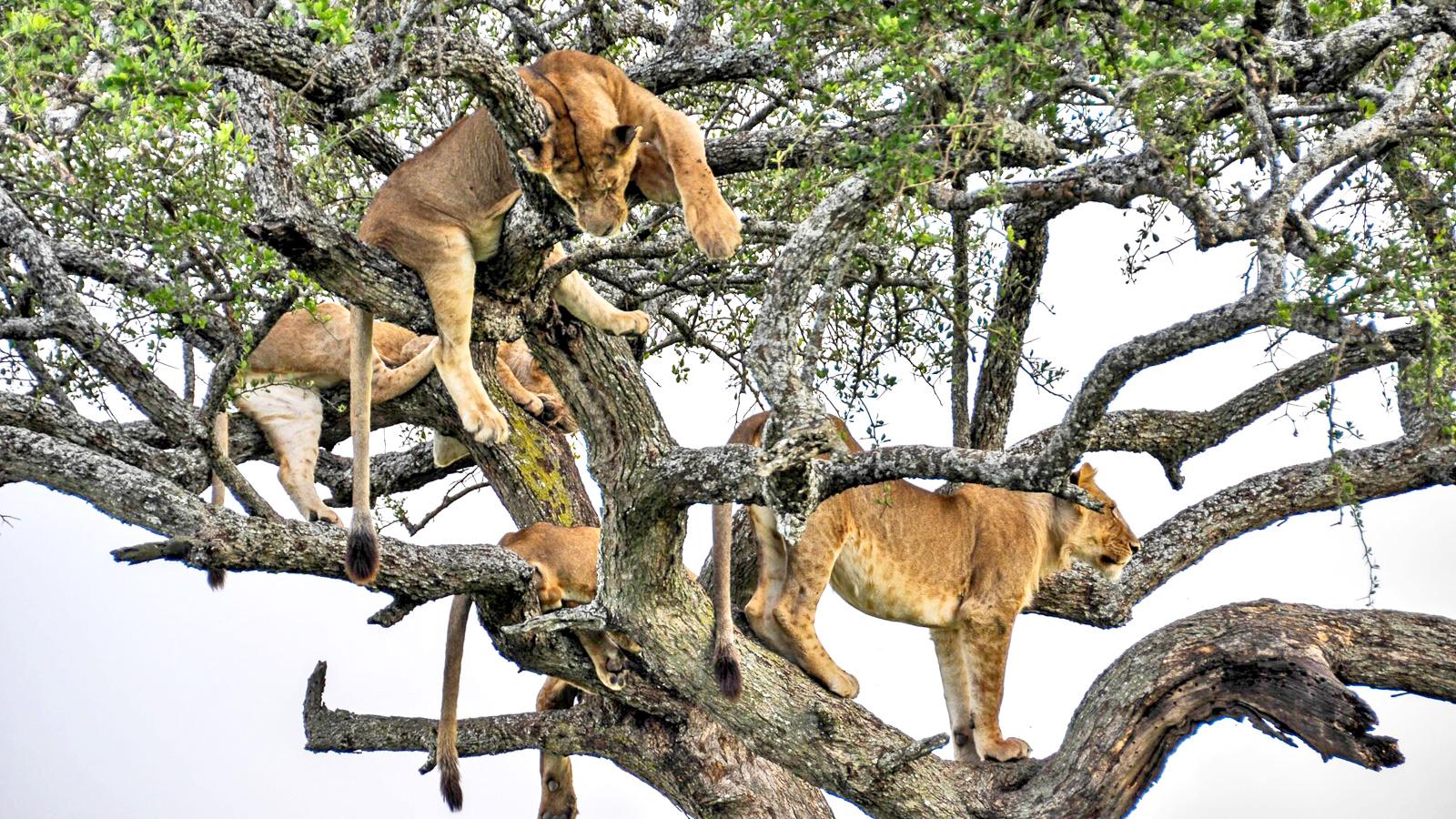 Löwen im Baum in Tansania in der Serengeti traveljunkies