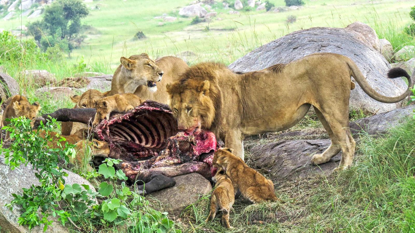 Löwen in der Serengeti beim Fressen in Tansania