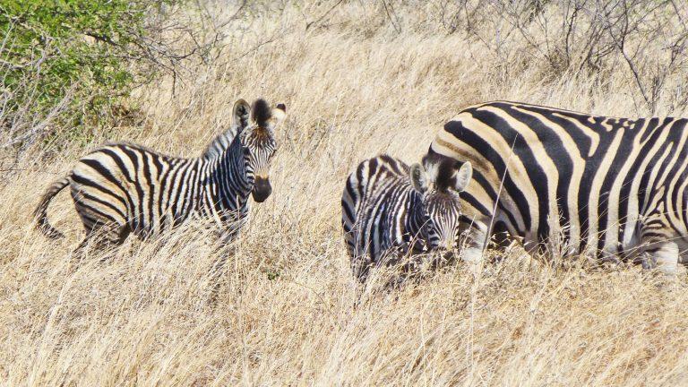 Mietwagenrundreise Südafrika Safari Zebras