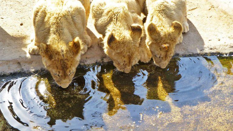 Mietwagenrundreise Südafrika weiße Löwen traveljunkies