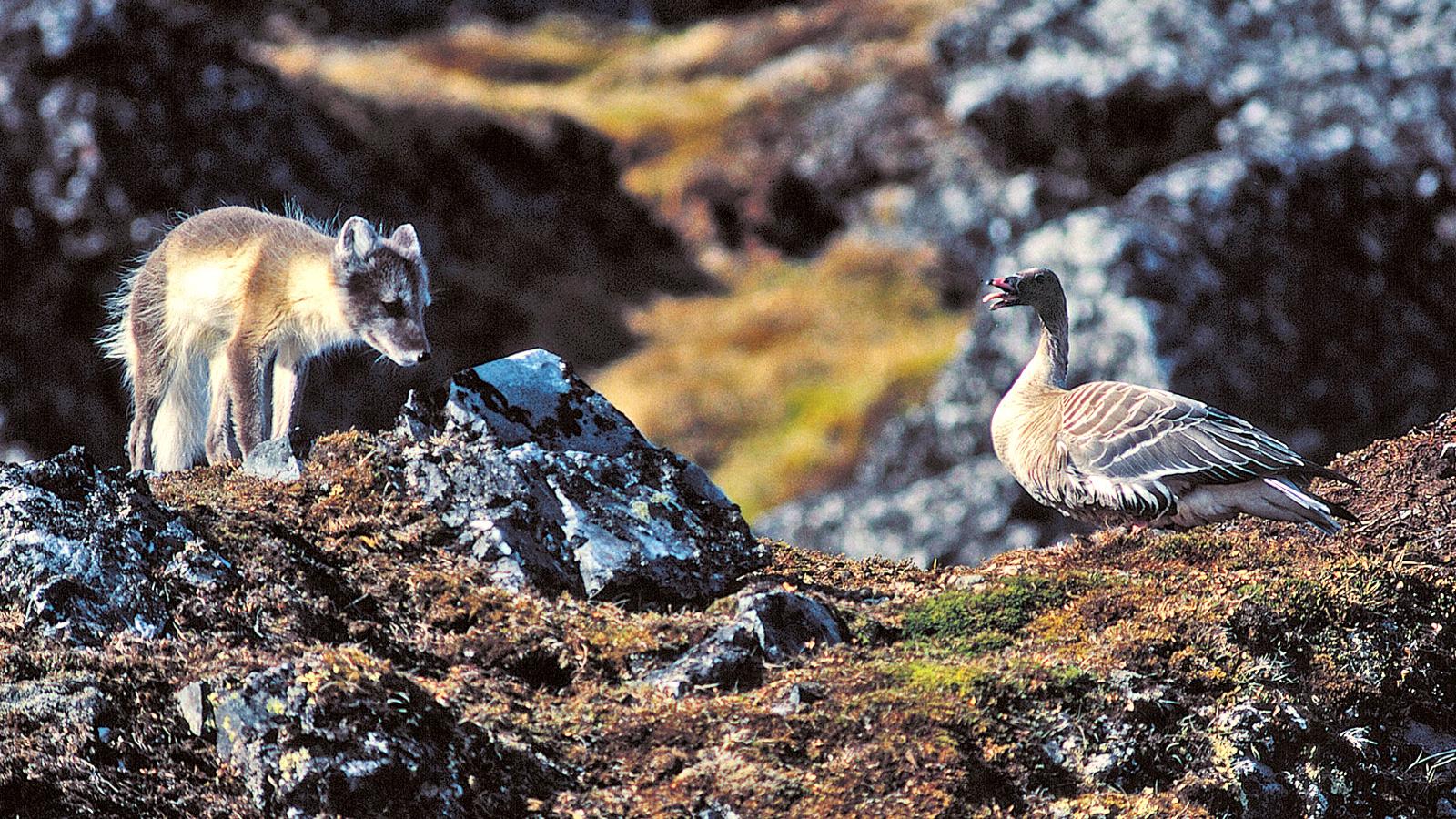 Polarfuchs auf Spitzbergen bei der Jagd in der arktis am Nordpol. traveljunkies