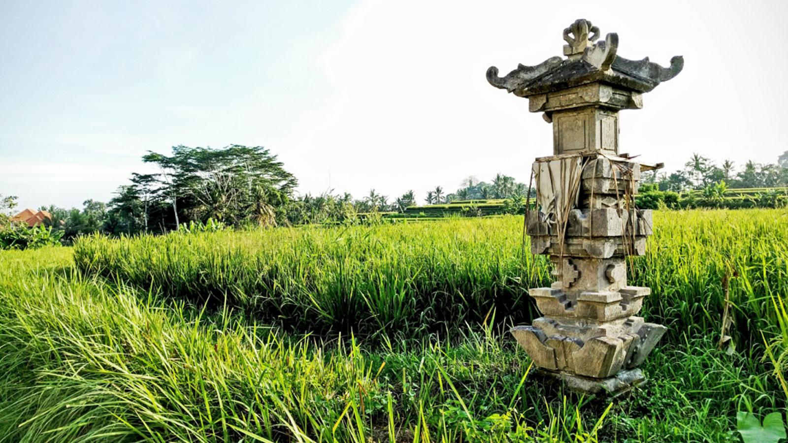 Reisefelder in Ubud auf Bali Erlebnisreise Indonesien traveljunkies