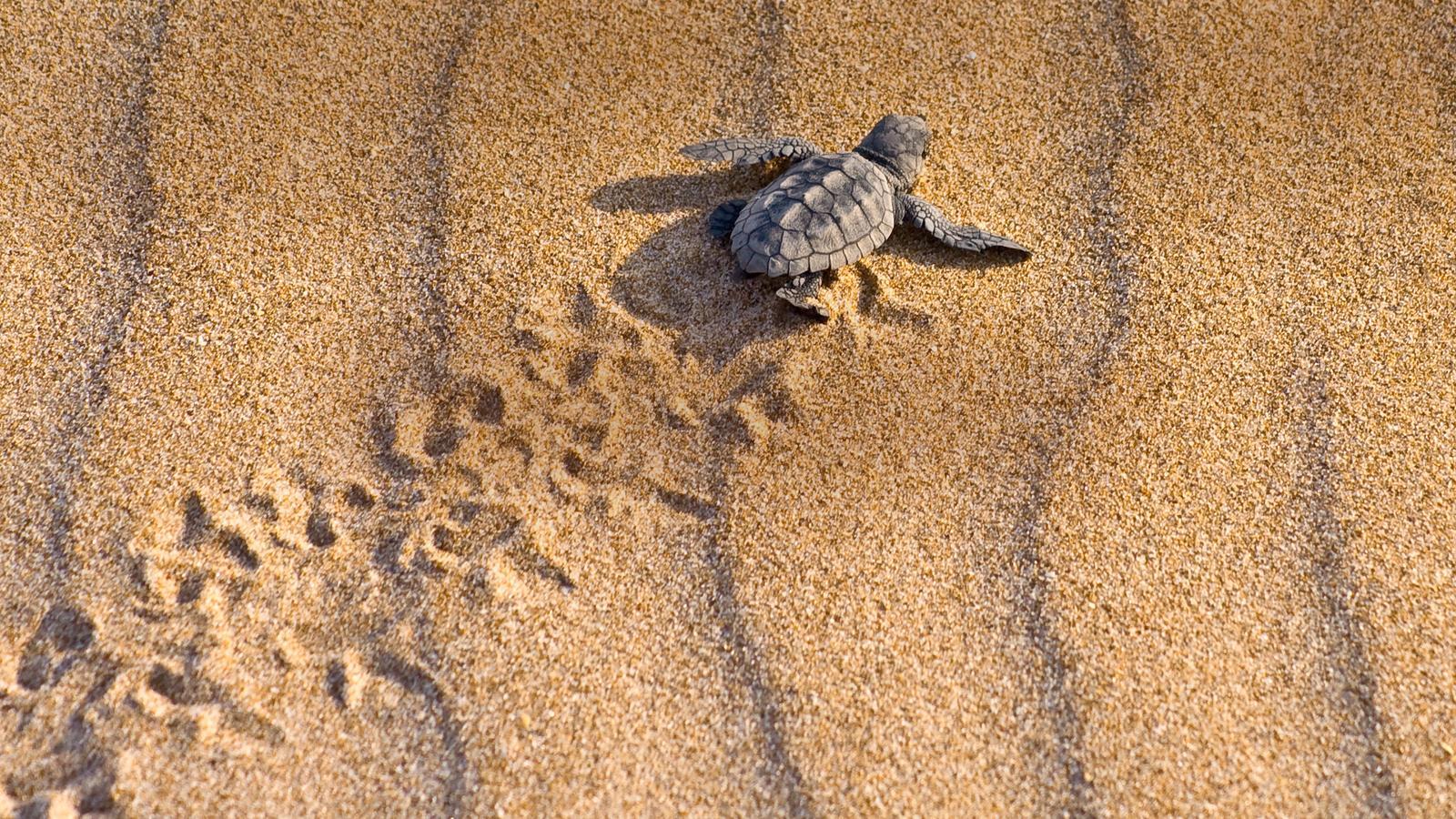 Schildkröte schlüpft am Strand in Tortuguero in Costa Rica.