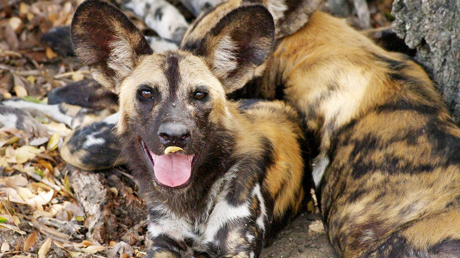 Wildhund Sambia Erlebnisreise & Safari in kleiner Reisegruppe traveljunkies