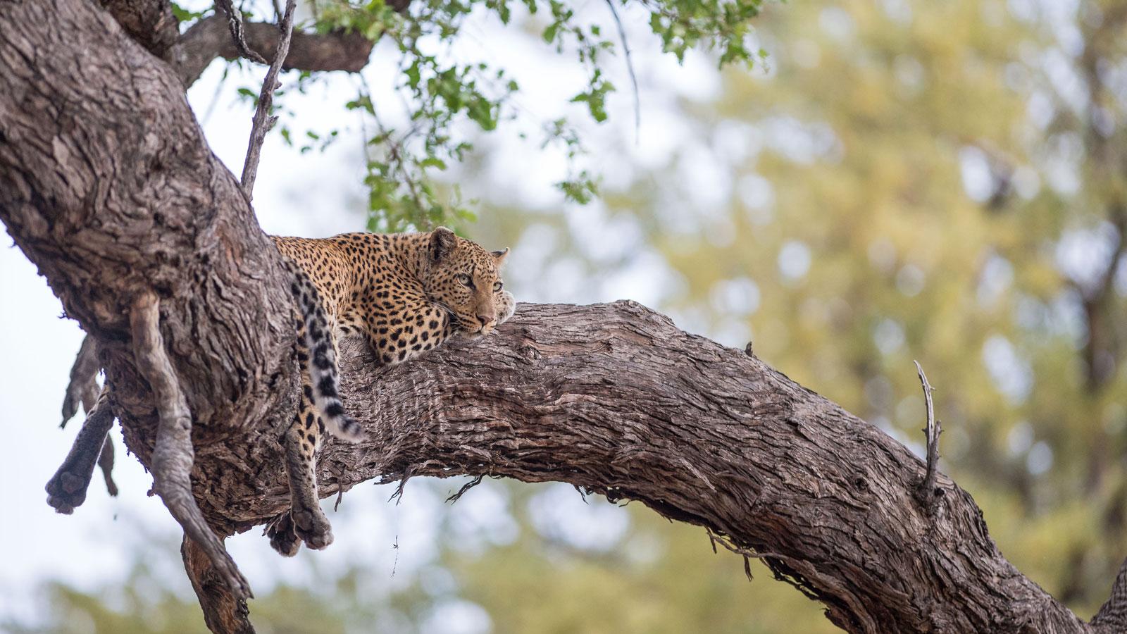 leopard Sambia Safari und reisen traveljunkies